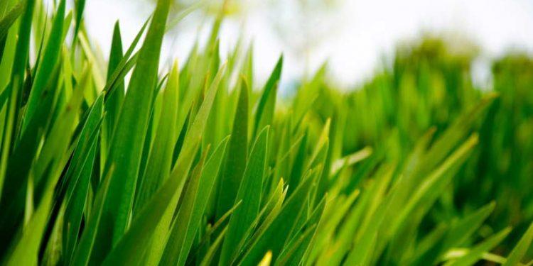 Gras_klein